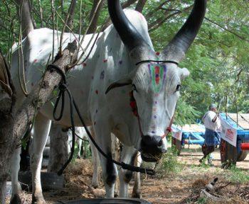 Bullock cart ox ride in South India Tamilnadu